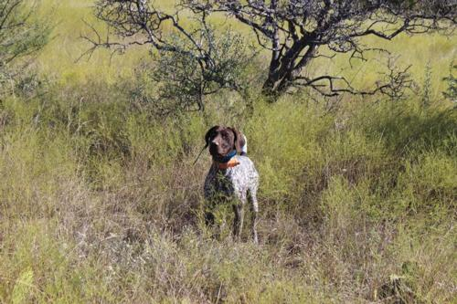 German Shorthair Pointers Breed Photo